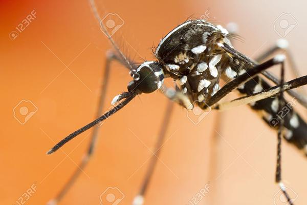 Primer plano de mosquito tigre (foto: Gordon Zammit / 123RF).