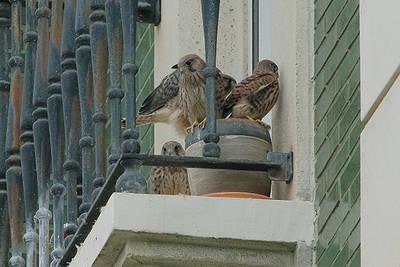 Volantones de cernícalo vulgar descansan en la terraza de un cuarto piso de Santander, donde nacieron. La especie lleva nidificando en esta vivienda desde 2015 (foto: Antonio Sanz).