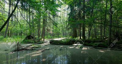 Panorámica de una zona pantanosa en el bosque de Bialowieza (Polonia). Foto: Aleksander Bolbot / 123RF.