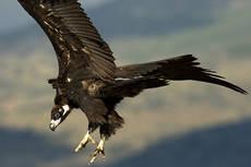 Buitre negro a punto de posarse (foto: Tatavasco / SEO BirdLife).