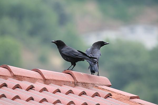 Cornejas negras (Corvus corone) posadas en un tejado de la costa cantábrica (foto: Pedro Torres Expósito).
