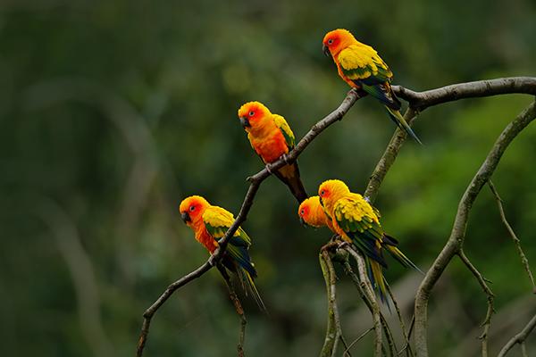 Grupo de cotorritas del sol (Aratinga solstitialis) en su hábitat. Es una de las especies más afectadas por el comercio de loros neotropicales (foto: Ondrej Prosicky / Shutterstock).
