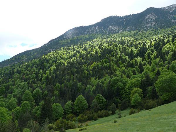 Abetal protegido de Laspuña (Huesca), sometido a una polémica tala en 2016 (foto: FCQ)