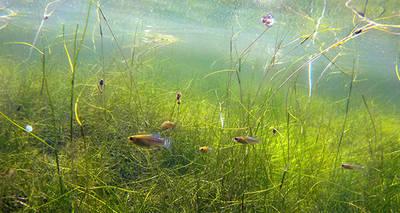 Imagen subacuática de una balsa de riego del suroeste de Almería, con varios ejemplares de fartet y un importante volumen de vegetación subacuática (foto: Francisco Fornieles).