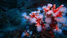 Colonia de coral candelabro con los pólipos desplegados en la ZEC Punta de la Mona (Granada). Foto: Asociación Hombre y Territorio.
