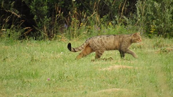 Gato montés fotografiado en un prado de la Montaña Palentina durante el censo intensivo estival realizado con esta especie (foto: Fermín Urra y Fernando Jubete).