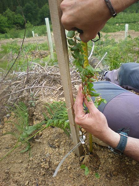 Un técnico de LIFE+ Ordunte Sostenible mide el tamaño de un haya plantada en una de las zonas que ha sido objeto de restauración forestal (foto: Hazi).