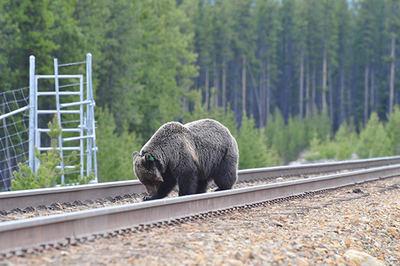 Los osos pardos o grizzlies acostumbran a comer carroñas de animales atropellados, como es el caso de este ejemplar del Parque Nacional de Banff (Canadá). Foto: Benjamin Dorsey.