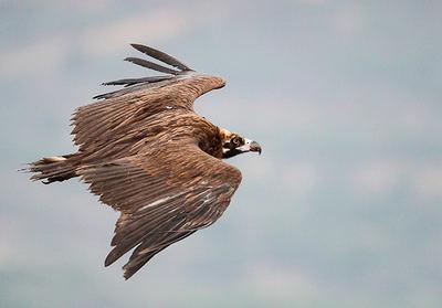 Buitre negro en vuelo (foto: Ángel Sánchez).