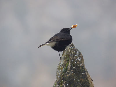 Macho de collalba negra con una miga de pan en el pico (foto: Pere Josa y Camil Albert).