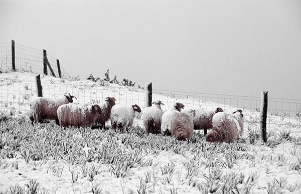 Rebaño de ovejas lachas en un paisaje nevado de los Picos de Europa (foto: Manuel Quintana).