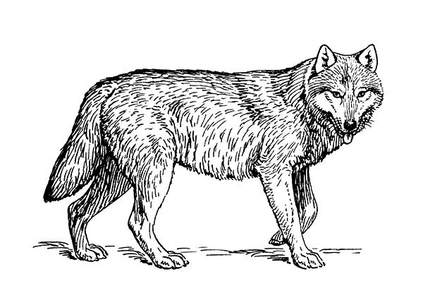 Badajoz acoge una reunión dedicada al lobo ibérico