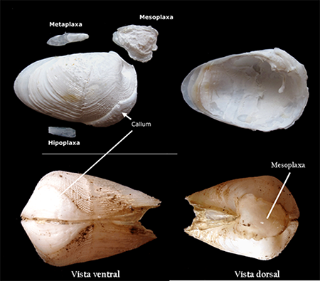 En la mitad superior, valvas y placas accesorias de un ejemplar de Martesia fragilis. En la mitad inferior, vista ventral y dorsal de esta misma especie (foto: Gabriel Gómez y Diego Moreno).