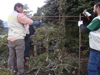 Voluntarios colocan un protector individual a un tejo en la sierra de las Nieves (Málaga). Foto: Juan José Jiménez.