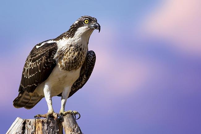 Águila pescadora posada (foto: Shutterstock / Nature Bird Photography).