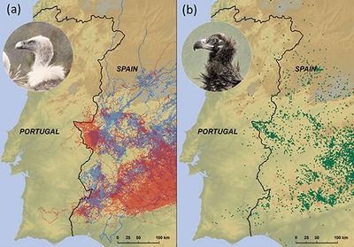 El mapa (a) muestra las localizaciones de buitres leonados (en azul para los marcados en las Bardenas Reales y en rojo para los marcados en las sierras de Cazorla y Segura). El mapa (b) muestra las localizaciones de buitres negros de Cabañeros.