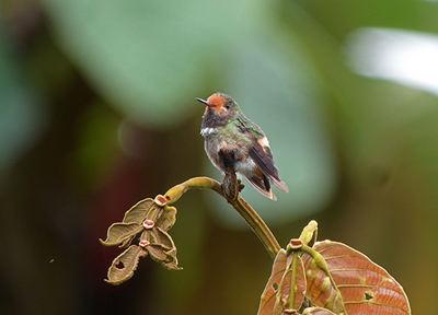 Ejemplar de coqueta crestirrufa observado en Costa Rica (foto: Ludovico de Vega).