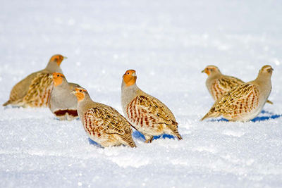 Grupo de perdices pardillas en la nieve (foto: Nature Bird Photography / Shutterstock).