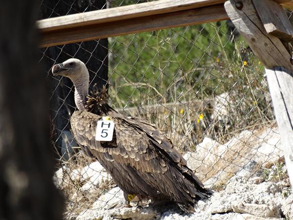 Buitre moteado juvenil en la jaula de captura en Alcoi (Alicante), con el código de su marca alar visible (foto: Carmen Villena).