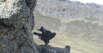 Imagen de foto-trampeo de un águila real etíope en el único territorio ocupado del valle del río Web detectado en el sondeo de noviembre de 2017 (foto: Enrique Navarro).