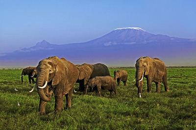 Elefantes africanos con el fondo de las cumbres nevadas del Kilimanjaro (foto: Martin Harvey / WWF).