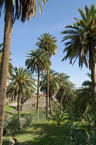 La palmera canaria es una especie dioica, con sexos separados en ejemplares masculinos y femeninos (foto: Javier Gil).