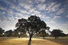 En el paisaje amable y accesible de la dehesa, encinas y alcornoques guardan las distancias y permiten que la luz del sol inunde la alfombra del pastizal (foto: José Luis Gómez de Francisco).