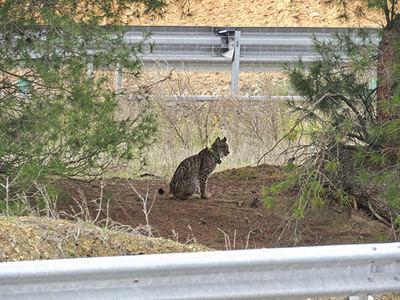 Un lince ibérico con collar emisor se detiene junto a una carretera en Sierra Morena (foto: Alfonso Moreno / WWF España).