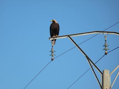 Águila imperial posada en el apoyo de un tendido eléctrico de Castilla-La Mancha (foto: Fundación CBD-Hábitat).