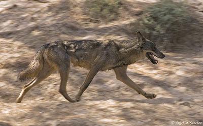 Lobo ibérico al trote fotografiado en condiciones controladas (foto: Ángel M. Sánchez).