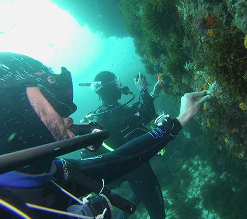 Dos buceadores fijan a la roca colonias de coral naranja que estaban desprendidas (foto: Javier Herrera).