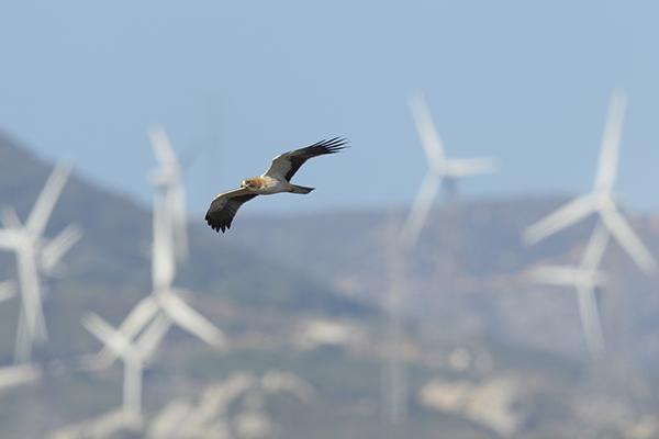 Un águila calzada vuela en una zona del estrecho de Gibraltar con gran densidad de aerogeneradores (foto: José Luis Gómez de Francisco).