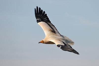 Alimoche adulto en vuelo (foto: Manuel de la riva).