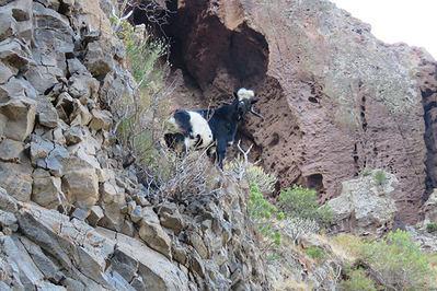 Cabra asilvestrada en una zona de regeneración de cedro canario de la reserva de Güigüí, en Gran Canaria (foto: Marco Díaz-Betrana).