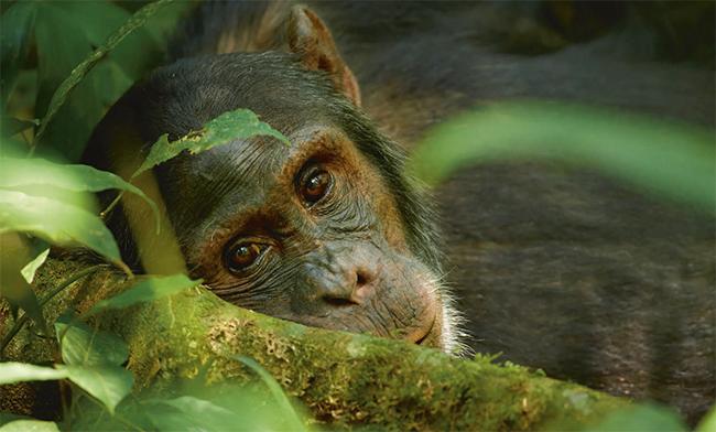 Primer plano de un chimpancé durante un descanso en el Parque Nacional de Kibale, al sur de Uganda (foto: Martin Mecnarowski/ Shutterstock).