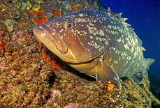El mero (Epinephelus marginatus) es una de las especies destacada del Mar de las Calmas (foto: Parent Géry / Wikicommons).