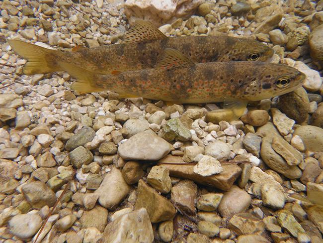 Dos truchas comunes reposan en el lecho de piedras de un río de Sierra Nevada (foto: Julián Fuentes).