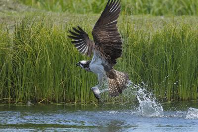 Águila pescadora con una presa recién capturada en un humedal (foto: José Luis Gómez de Francisco).