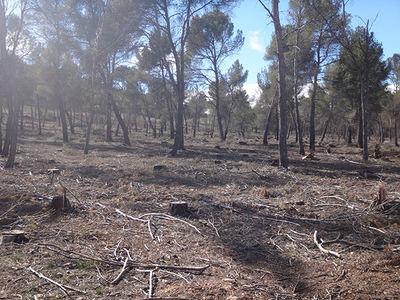 Área de nidificación de milano negro y de águila calzada donde se han cortado los pinos que mantenían nidos de ambas especies, en el municipio de Castilléjar (Granada). En la fotografía se aprecia la densidad de la corta (foto: José María Gil).