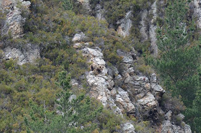 Hembra de oso pardo con su cría del año, pocos meses después de abandonar la osera (foto: Vincenzo Penteriani).