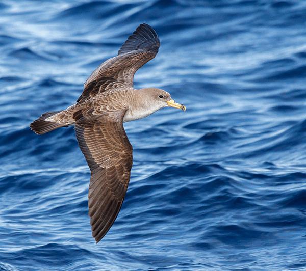 Una pardela cenicienta vuela a baja altura. Como otras aves marinas, esta especie depende enormemente de las condiciones de viento sobre la superficie del mar (foto: José Manuel Arcos).