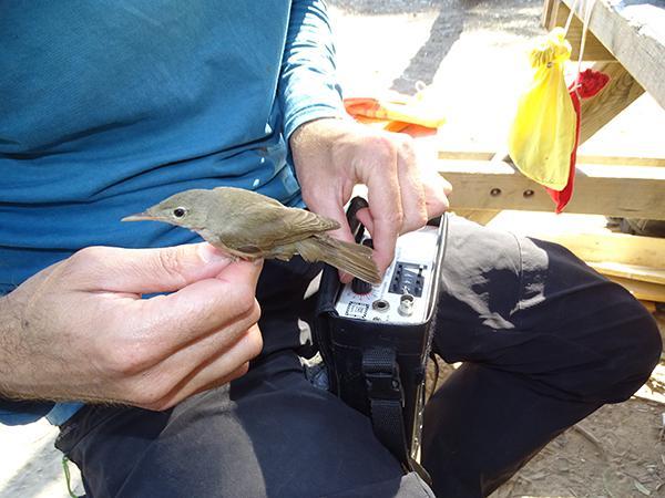 Un biólogo comprueba con un aparato receptor si funciona el emisor colocado en un zarcero bereber (foto: Anse).