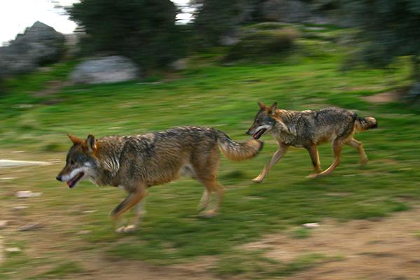 Pareja de lobos ibéricos en régimen de semicautividad (foto: Ángel España).