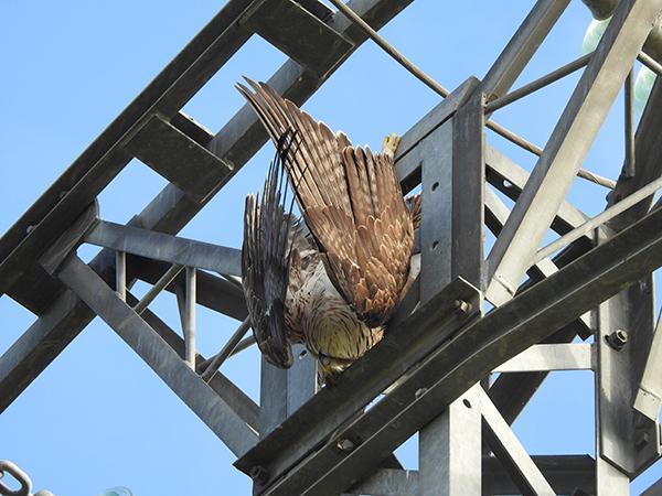 Un águila perdicera cuelga sin vida del apoyo de un tendido eléctrico, tras haberse electrocutado (foto: Plataforma SOS Tendidos Eléctricos).