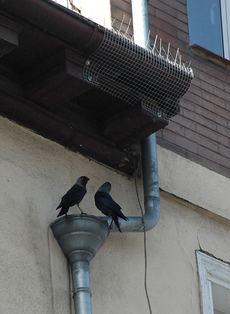 Dos grajillas posadas en un edificio de Vitoria miran hacia su nido, que ha sido tapado con una malla (foto: IAN)