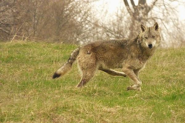 El extraño lobo de Zarnesti