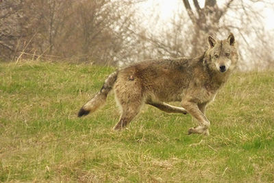 El extraño lobo cojo de Zarnesti, con su pata posterior izquierda completamente rígida (foto: José Carlos de la Fuente).