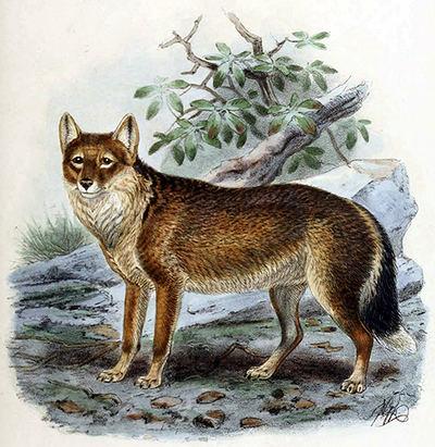 Lámina del lobo de las Malvinas (Dusicyon australis) publicada por George Mivart en el libro Dogs, jackals, wolves and foxes: a monograph of the canidae (1890).