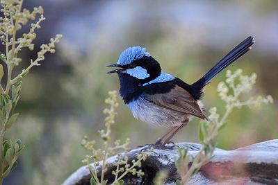Ejemplar macho de maluro soberbio (Malurus cyaneus), en el Parque Nacional Wilsons Promontory (Australia).
