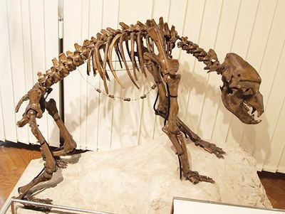 Esqueleto de uno oso cavernario que está expuesto en el Museo de Historia Natural de eslovenia, en Liubliana (foto: Tiia Monto / Wikicommons).